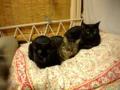 寒くなると猫団子率が高まります。アテクシは巨猫団というチームを主