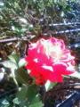 お庭のミニバラが久しぶりに咲いたおっお