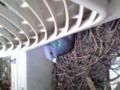 入院&自宅療養中に学生宿舎のベランダに鳩が巣を作った〜