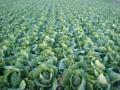 近所の白菜畑なう