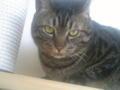 【今日の猫】わらび(3歳♂)