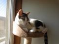 【今日の猫】きり(3歳♂)あけましておめでとうございます。