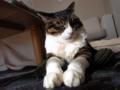 【今日の猫】くう(9歳♂)乗っているのはニット帽。