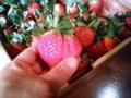 徳島県阿南産の枝付き特大苺入荷しました。香り甘みバランス3拍子揃