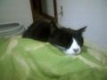 口内炎で食欲不振のコジマちゃん。病院行こうね。嫌だろうけど #cat #ne