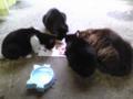 朝、ノラ猫ちび軍団が遊びに来ました。元気になって良かったー。
