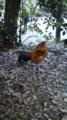 熱田神宮にて。片足の鶏さん。三宅が名古屋コーチンだってはしゃいで