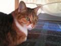 【今日の猫】こみ(4歳♀)