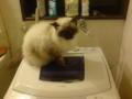 洗濯機の上に乗ったモモで〜す!