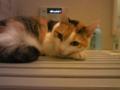 ミルキーは風呂のふたが好き。