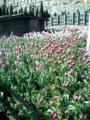 なんか綺麗なチューリップがいっぱい植わってたよ