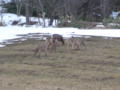 鹿の群れ接写余裕でしたの村