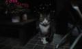 隣猫は夜やってくる。グッドルッキング白足袋ちゃんだが、媚びない猫