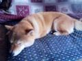 疲れて眠る柴犬(笑)