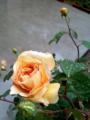 薔薇咲いた!!