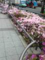 おはようございます。豊洲駅、いつの間にかつつじが満開で、おもわず