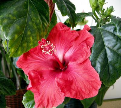 快晴♪今朝は、赤い方が咲きました