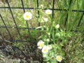 近所の野草。ヒメジョオンです。さっきのハルジオンと色違い。名前と