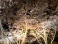 今年の夜桜は素敵だったなあ…