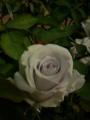 ブルーヘブン。青い薔薇って有名になったよ。