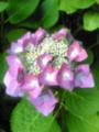 我が家の紫陽花です♪