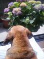 その紫陽花を眺める、うちのワンコ。U^エ^U ひなたぼっこ
