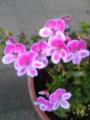我が家の花♪