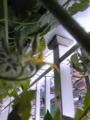 ついにプチトマトの花が咲いた!ピンボケだけど。