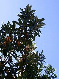 陽の滴集めて枇杷の実はみのり今年もまた、夏が来る。