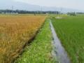 収穫間近の麦と、ようやく根のはった稲。