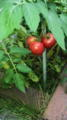 そういえばうちのトマトできた