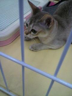 @marqooo シンガプーラとかいう、シンガポールの猫です。かわいすぎてつ