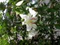 カサブランカが咲いた
