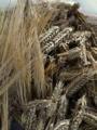 収穫した麦を天日干し、これを炒って煮出しすと!!あまーくて香ばし