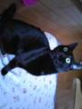 初☆猫!るーしー家の猫、マヤです(^ω^)