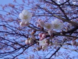 おおっ、咲いてる!(*゜▽゜)ノ #sakura  #osanpo