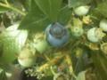 ブルーベリが色づいてきた。色づいてから3日〜5日に収穫と言われて