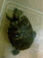 飼い亀がなんかソワソワしている。どうした?