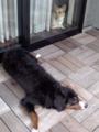 洗った犬をベランダで干しました
