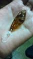 チェコ人の作ったセミの羽のピアスかわいい。ラメラメのトップコート