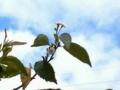 8月の桜 熱海市MOA 美術館 友人が教えてくれました。確かに咲いていま
