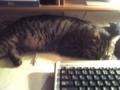 机の上で寝るにゃう。