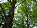 森だ、セコイアの森だ