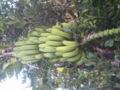 道端に沖縄の島バナナがなってたよ