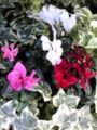 寒いの大好きな冬の花だけど、夏も健気に咲いてくれる可愛い子♪ガー
