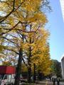 札幌道庁赤れんが前のイチョウ並木!こんなにキレイなのになんでみん