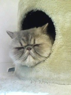 猫カフェにいたぶーちゃん猫★まじかわゆす。