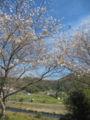 四季桜で有名な愛知県小原地区のを通ったので桜少し見れました。ここ