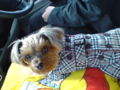 【犬画像】トレンチコートを着て探偵風?