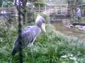 上野動物園楽し過ぎる♪ハシコビロウ?さんクール過ぎる!